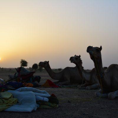 camel safari india - next level ams